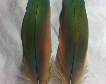 Matching pair of blue, green, and red scarlet macaw feathers