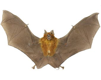 Real Bat Specimen | Bicolored Roundleaf Spread Bat