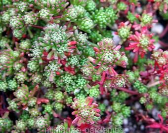 Sedum lydium, Stonecrop for Miniature Garden, Fairy Garden