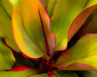 The Ti Leaf Plant - Hawaii - Image 88