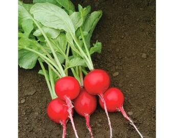 BULK: RADISH (Crunchy Royale) *250 Seeds* Vegetable Garden - Fresh Quality Seed & High Germination
