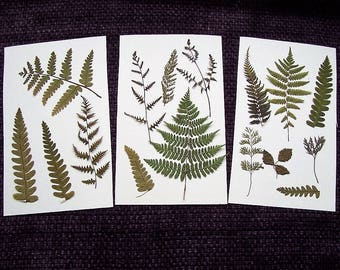 Pressed Ferns From Northern Michigan.  :)  Pressed flower art, floral, craft supplies, preserved ferns, dried ferns, woodland, botanical.