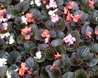 Begonia Bronze Leaf Mix Live Plant - 6 Spring Annual Live Plants