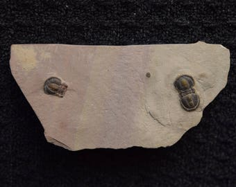 Two Fossil Peronopsis Interstrictus Trilobites in Matrix from Utah Cambrian Era 500 Million Years Old!