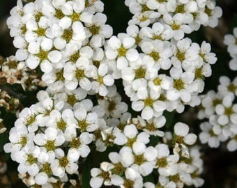 Nature photography. Small white flowers. Summer.