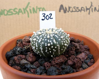 ref. 302 astrophytum