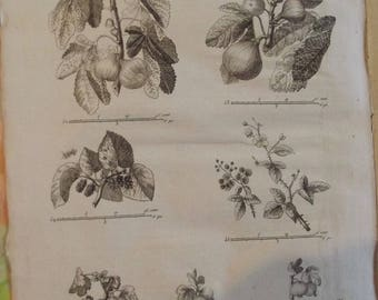 1784 old engraving wallet of children prints Edition Original le fig, currant thorny Bramble, Figier purple, mulberry, juicy