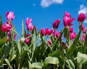 Tulips against blue skies