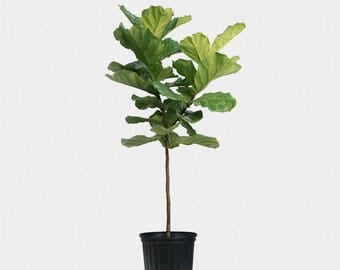 fiddle leaf fig tree plant about 42 tall beautiful ficus lyrata