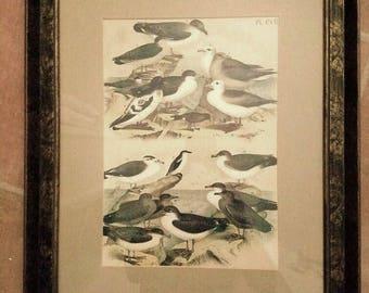 Birds – Framed Sea Birds – Gulls - Possible Early Audubon Drawing - 1980s Frame
