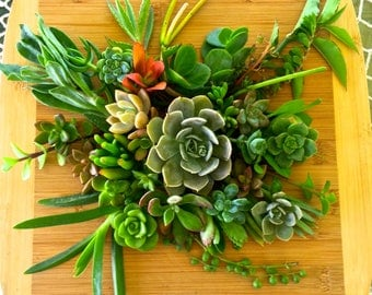 20 Assorted Succulent Cuttings Live Plant Colorful Variety Great for Wedding Favors