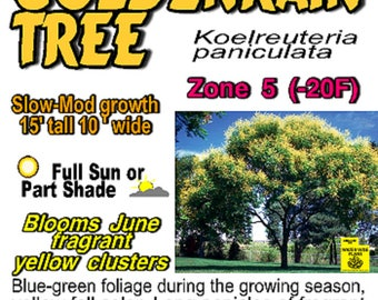 Golden Rain Tree Seedling Large Golden Yellow flower pannicles flowering tree 1 year old