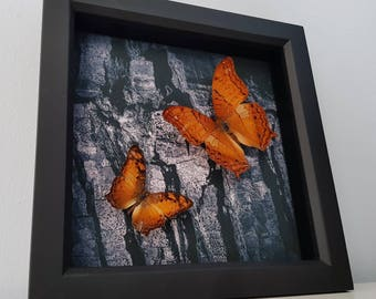 Real Taxidermy - Vindula Dejone Butterfly