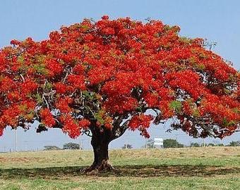 25 Seeds Delonix regia , Flame Tree, Royal Poinciana, Flamboyant Tree