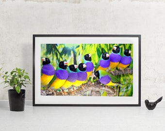 Gouldian finch Black Headed Wild type Birds flock or Zebra finch three birds colorful photography poster 27x48 cm print only