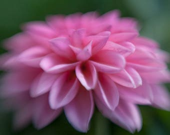 Photo of Pink Dhalia, Flower Print, Nature Photography