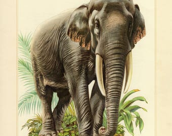Vintage lithograph of the Asian elephant from 1956