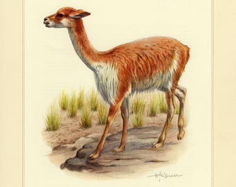 Vintage lithograph of the vicuña or vicugna from 1956
