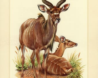 Vintage lithograph of the greater kudu from 1956