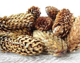 Blue Fir Cones,soft Fir cones,medium Fir cones,Natural spruce cone,Natural Wooden,Fir Cones,Fir,Home Decor,Rustic Decor,Christmas decor
