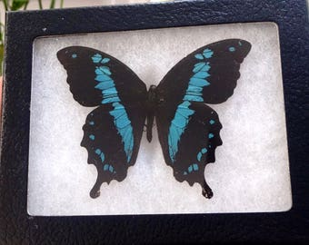 Papilio Oribazus Framed Butterfly