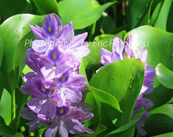 Purple Water Hyacinth Flower Nature Photography Flower Photograph Picture