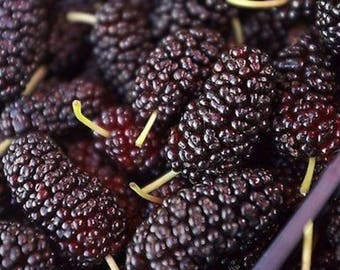 Thornless Blackberry Seeds ,delicious ,nutritious, sweet, natural snack 100 Seeds