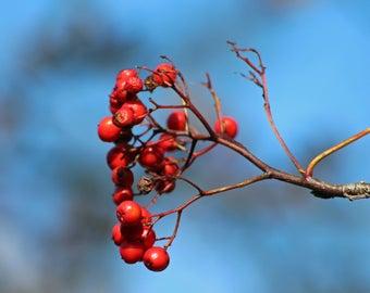 Photography: 'Autumn Berries' art print, wall art, home decor.
