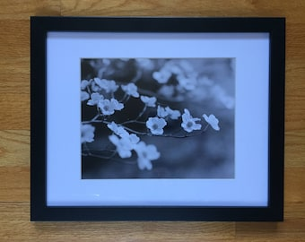 Dogwood Blooms - Black and White Silver Photo Print 8x10 Framed Limited Edition