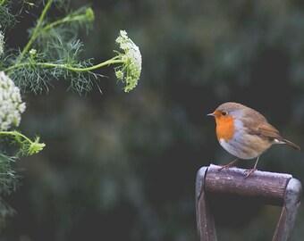 Winter Robin - Fine Art Print