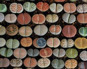 Lithops mix 100 seeds (Living stones) succulent