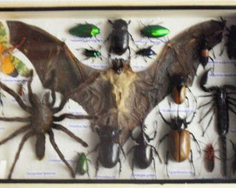 REAL Multiple INSECTS BEETLES Spider Scorpion Bat Taxidermy Collection in wooden box/is08B