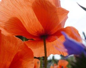 "Poster ""Instant poppy"" 75x50cm artistic picture of poppy flower."