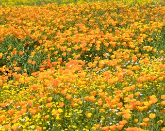 Poppy Fields! | California Poppies | Digital Photography | California Art