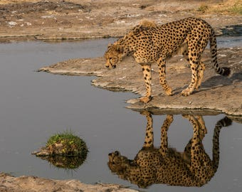 Cheetah Reflection Photo Print