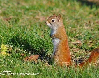 Photograph of a red squirrel standing format 13 x 18 cm
