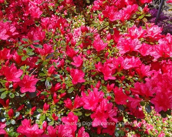 Pink Azalea Flower Photo Art - Nature Photography *SUPPLIED WITHOUT FRAME*