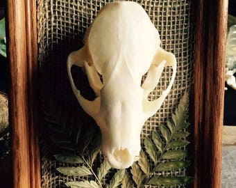 Mounted Raccoon Skull