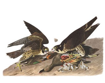 Audubon's Plate 16 Great Footed Hawk Cross Stitch Pattern
