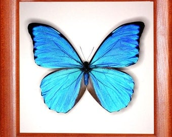 Exotic Morpho anaxibia butterfly In the frame of the current breed of good wood