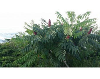 Staghorn Sumac Tree