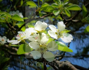 Apple Blossoms in the Spring | Nature Photo Art | Nature Gift | Fine Art Photography | Personalization | BDPhotoShoppe | Home Office Decor