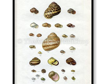 Shell Print Antique Reproduction. Plate XXIII from British Shells by Sowerby pub. 1859. Wall Decor for, Hamptons, Shabby Chic, Beach House