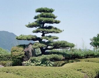 Garden Pine - Kumano Nachi Taisha Temple