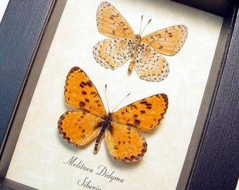 Real Rare Russian Melitaea Didyma Set The Spotted Fritillary or Red-Band Fritillary Framed Butterflies 8420