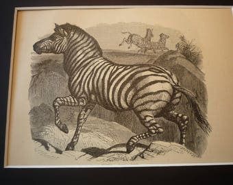 1870 Zebra South African Animal Etching original Animal Kingdom Matted for 8 by 10 frame - gift for animal lover nature lover detailed