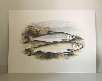 1879 pollan & powan fish print original antique sea life ocean marine animal print by houghton