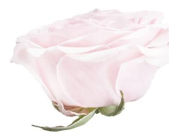 Garden Rose light Pink  - Vinyl Decal Wall Décor