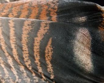 x1 XL Wild Turkey Tail Feather: Brown and Black - meleagris galopavo WT5
