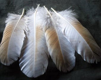 """x4 White and Fawn Feathers - 5 - 6"""" Cruelty-Free, Domestic Heritage Turkey - meleagris gallopavo TF05831"""